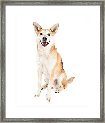 Happy Australian Cattle Dog And Shiba Inu Mix Framed Print by Susan Schmitz