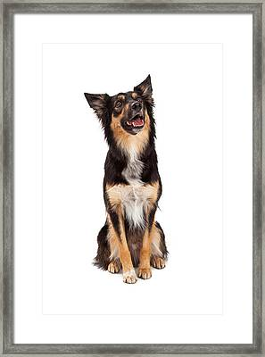 Happy Border Collie Crossbreed Looking Up Framed Print by Susan Schmitz