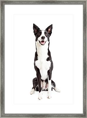Happy Border Collie Mix Breed Dog Sitting Framed Print