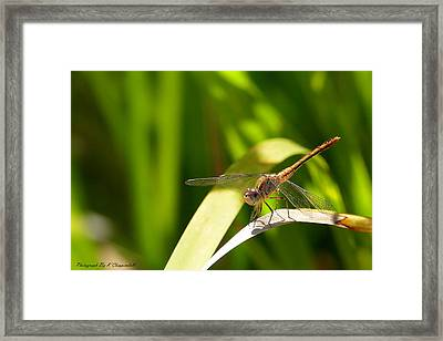 Happy Dragonfly 01 Framed Print by Kevin Chippindall