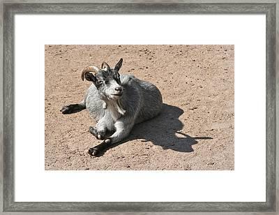 Happy Goat Framed Print