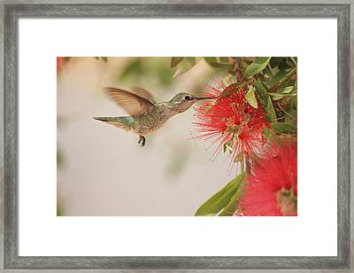 Happy Humming Framed Print by Penny Meyers