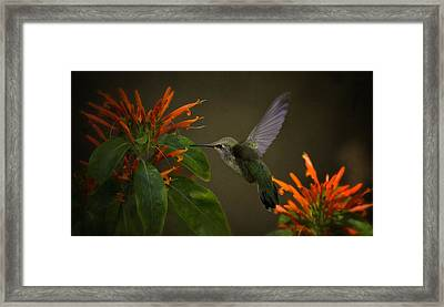 Happy Little Hummingbird  Framed Print by Saija  Lehtonen