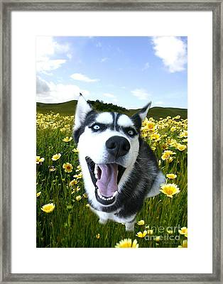 Happy Husky Framed Print by Stephanie Laird