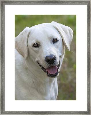 Happy Lab Framed Print by Stephen Anderson