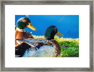 Happy Little Ducks  Framed Print
