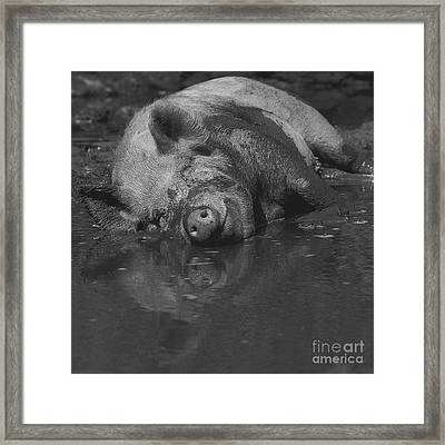 Happy Pig Framed Print by Paul Davenport
