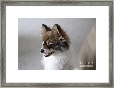 Happy Pomeranian Framed Print by Suzi Nelson