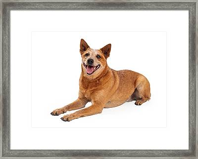 Happy Red Heeler Dog Laying  Framed Print
