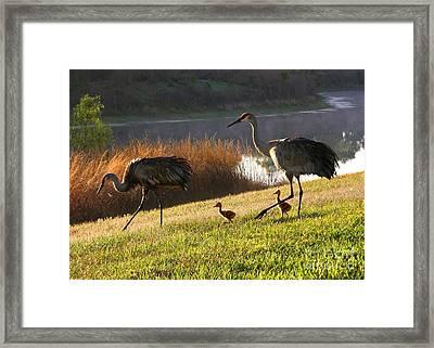Happy Sandhill Crane Family Framed Print by Carol Groenen