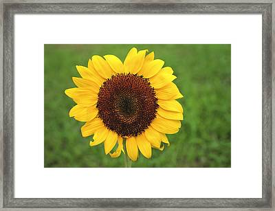 Happy Sunflower Framed Print by Terry DeLuco