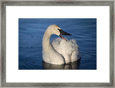 Framed Print featuring the photograph Happy Swan by Patti Deters