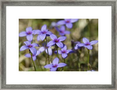 Happy Tiny Bluet Wildflowers Framed Print