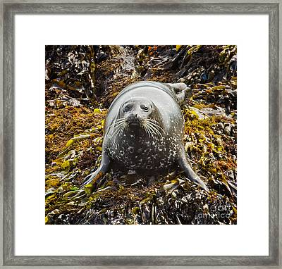 Harbor Seal Framed Print by Alice Cahill