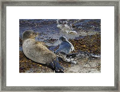 Harbor Seal Nursing Framed Print by George Oze
