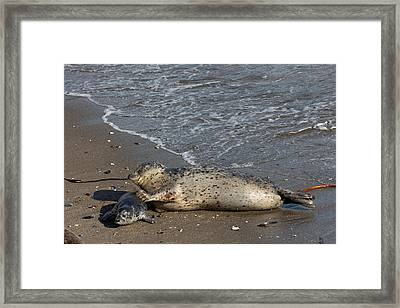 Harbor Seal Pup With Her Loving Mother Framed Print