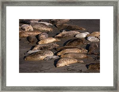 Harbor Seal Rookery On The Sonoma Coast Framed Print