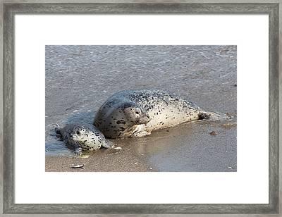 Harbor Seals In The Surf Framed Print