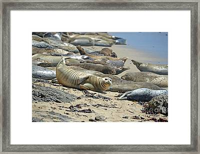 Harbor Seals Lounging On The Beach At Fitzgerald Reserve Framed Print by Jim Fitzpatrick