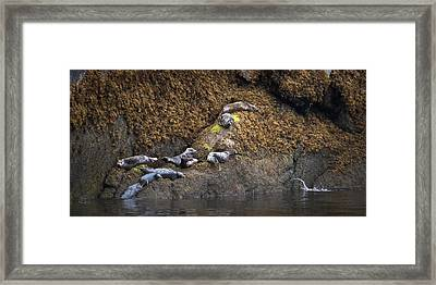 Harbor Seals Framed Print