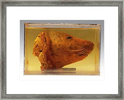 Harbour Seal Head Framed Print by Ucl, Grant Museum Of Zoology