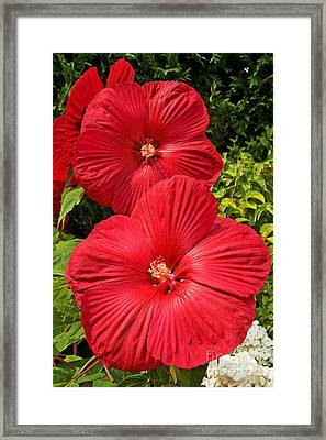 Hardy Hibiscus Framed Print by Sue Smith