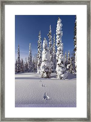 Hare Tracks In Deep Snow Framed Print by Science Photo Library