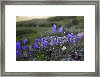 Harebell Bellflower Framed Print by Ellen Heaverlo