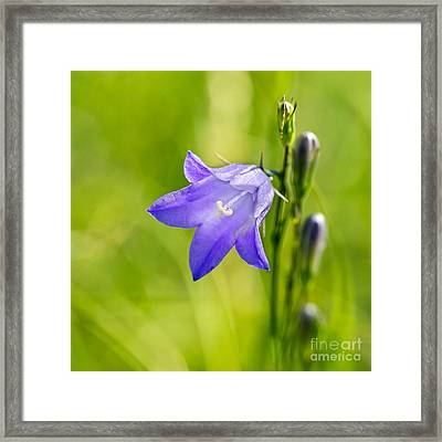 Harebell Framed Print by Dee Cresswell