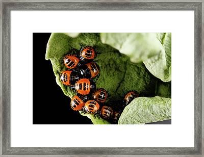 Harlequin Cabbage Bug Nymphs Framed Print by Us Geological Survey