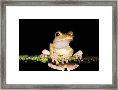 Harlequin Flying Frog, Malaysia Framed Print by Fletcher & Baylis