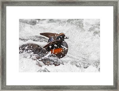 Harlequin In The Rapids Framed Print by Jill Bell
