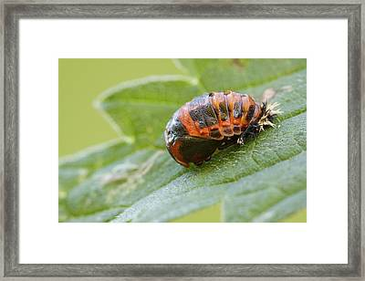 Harlequin Ladybird Pupa Framed Print by Heath Mcdonald