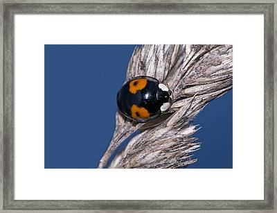 Harlequin Ladybird Framed Print by Science Photo Library