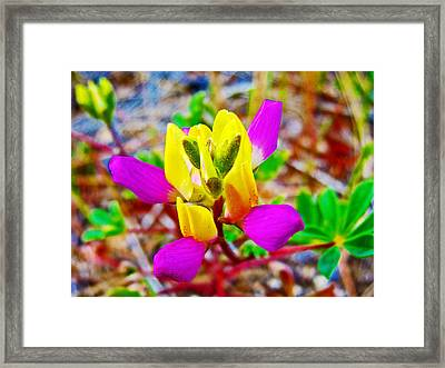 Harlequin Lupine In Park Sierra Near Coarsegold-california  Framed Print by Ruth Hager