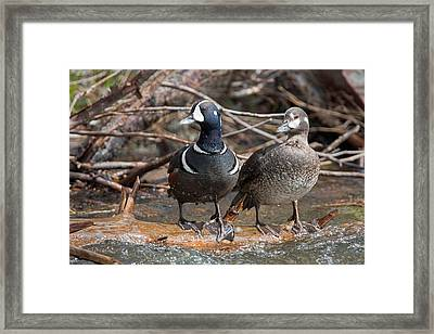 Framed Print featuring the photograph Harlequin Pair by Jack Bell