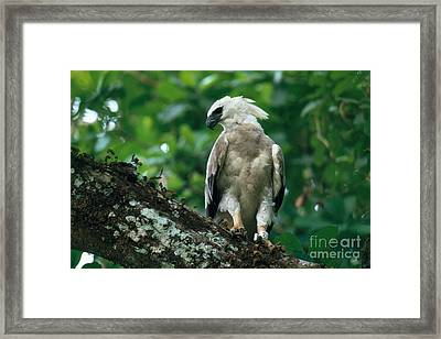 Harpy Eagle Framed Print by Art Wolfe