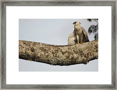 Harpy Eagle Chick In Kapok Tree Framed Print