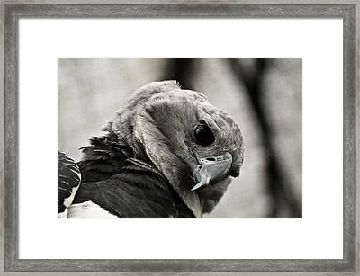 Harpy Eagle Closeup Framed Print by Jess Kraft