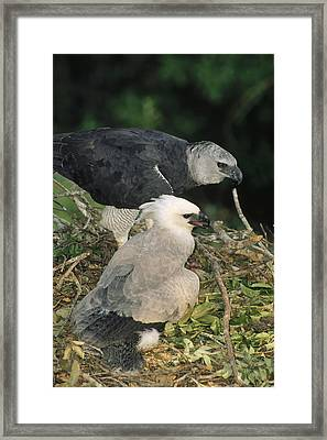 Harpy Eagle Female And Chick Amazonian Framed Print