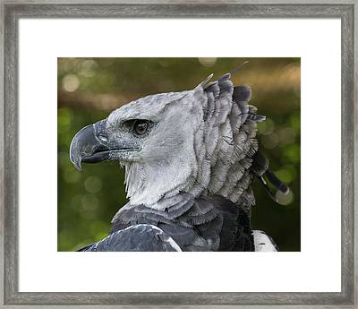 Harpy Eagle, Harpia Harpyja Framed Print by Jon G. Fuller