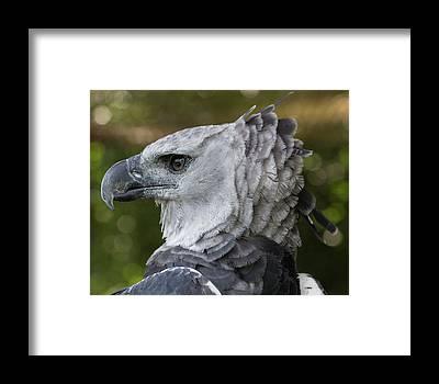 american harpy eagle art fine art america