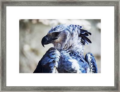 Harpy Eagle Harpia Harpyja Framed Print by Leonardo Mer�on
