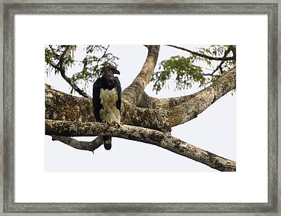 Harpy Eagle In Kapok Tree Framed Print