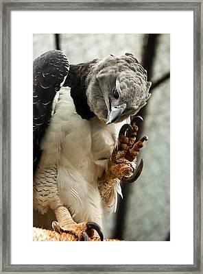 Harpy Eagle Framed Print by Jess Kraft