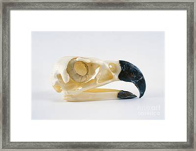 Harpy Eagle Skull Framed Print