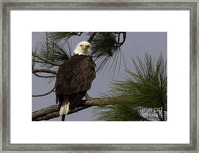 Harriet The Bald Eagle Framed Print