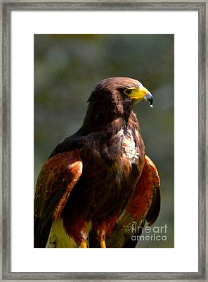 Harris Hawk In Thought Framed Print