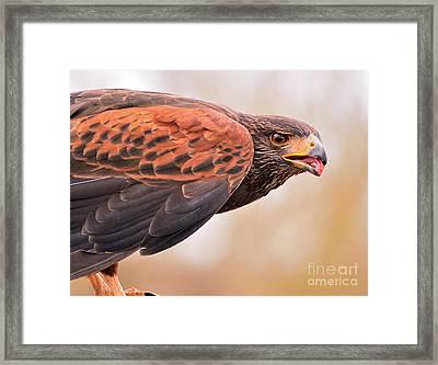 Harris Hawk Framed Print by Jim Chamberlain