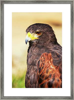 Harris Hawk (parabuteo Unicinctus Framed Print by Piperanne Worcester